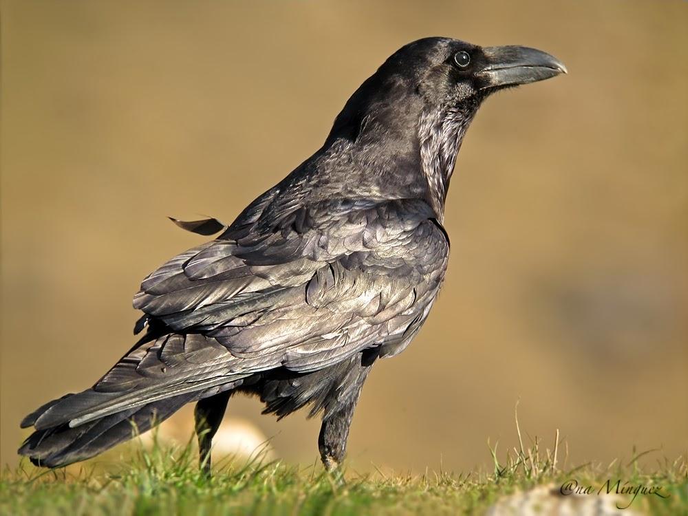 Cuervo QN